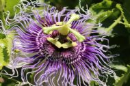 Passiflora Edulis Golden Giant  5 Seeds - Amazing Climber